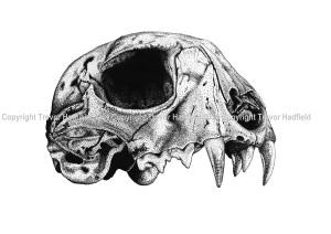 Panthera Tigris Skull